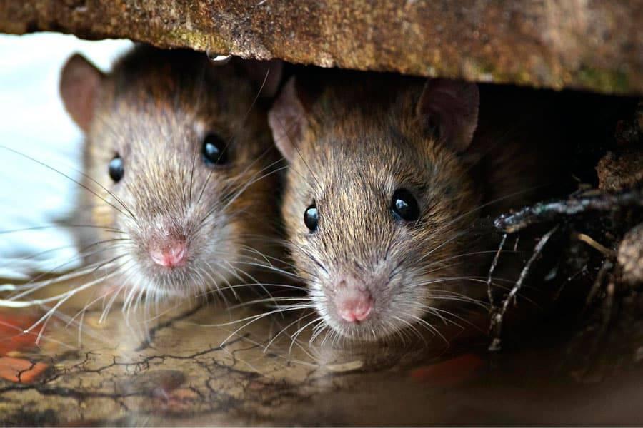 Что делать если укусила крыса — укусили!