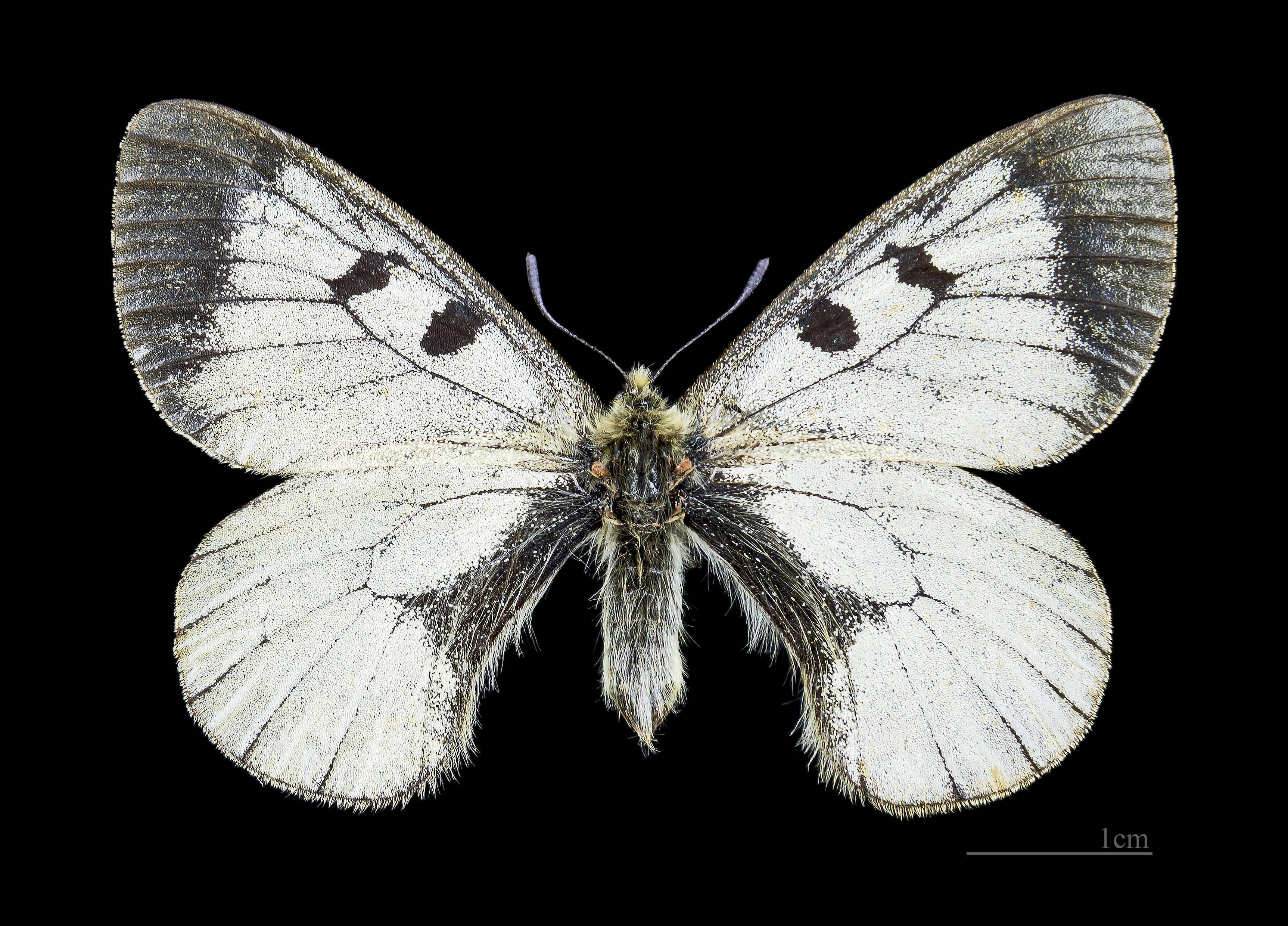 Основные виды дневных бабочек в россии