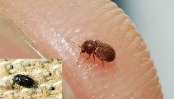 Ковровый кожеед – невзрачный и опасный для человека вредитель