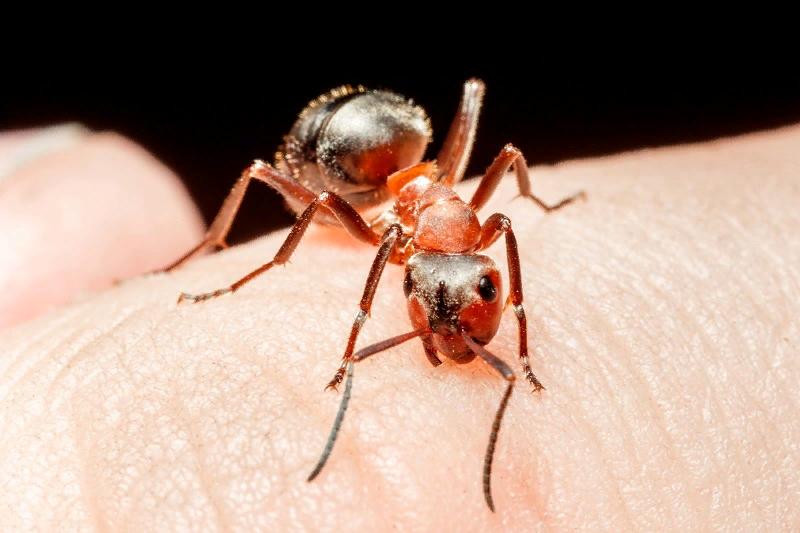 Особенности жизни рыжего лесного муравья
