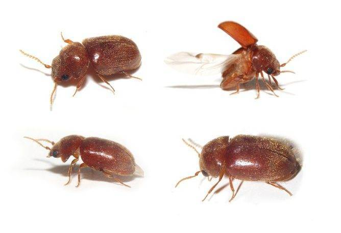 Маленькие коричневые жучки в квартире – избавляемся