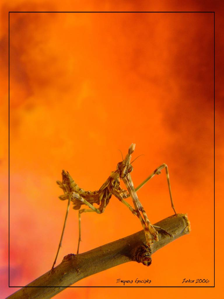 Богомол обыкновенный – живая ловушка для насекомых
