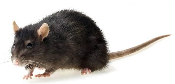Как избавиться от крыс и мышей своими силами в частном доме