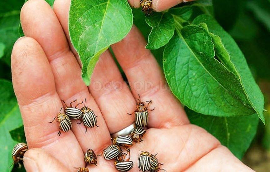 Колорадский жук: лучшие народные средства в борьбе с вредным насекомым