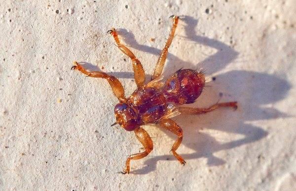Средство от лосиных мух. лосиные вши — опасны ли для человека? лосиная вошь – опасно или нет