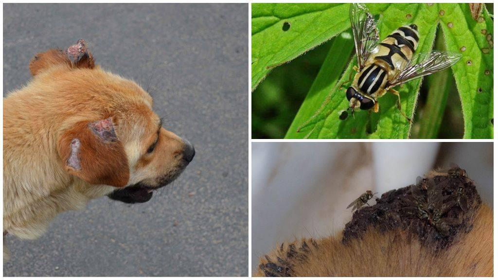 Чем помазать укусы от мошек собаке. что делать, если собаку покусали комары и мошки. чем опасен дирофиляриоз для собак
