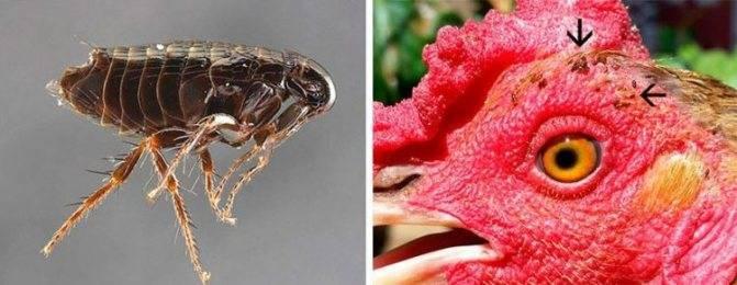 Пчелиная вошь— слепая муха в улье