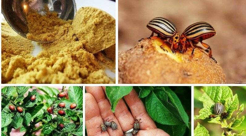 Применение порошка горчицы против вредителей растений в саду и огороде