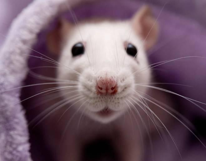 Крысиные блохи: внешний вид, чем они опасны укусы, как избавиться в квартире