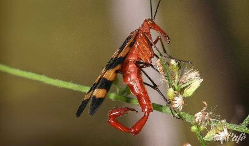 Скорпионница: образ жизни и строение тела необычных насекомых
