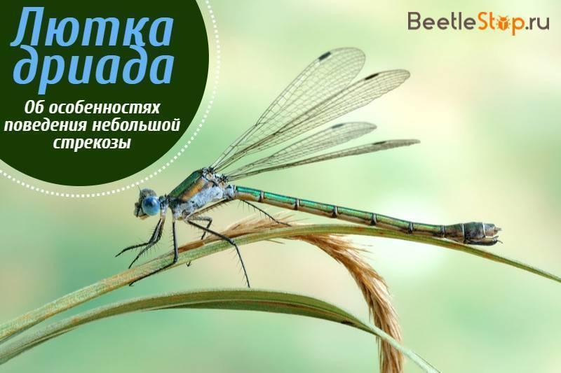Лютка дриада— стройная стрекоза у мелких озер