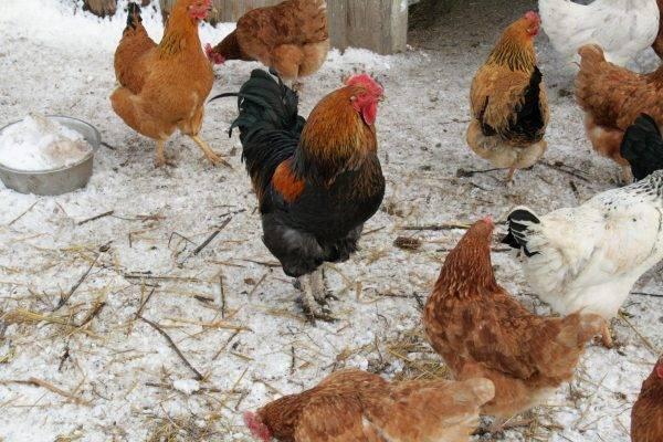 Как избавиться от куриных блох
