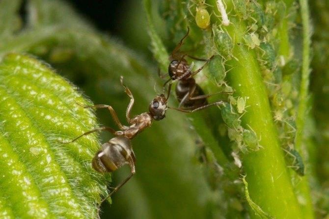 Чем питаются муравьи в природе