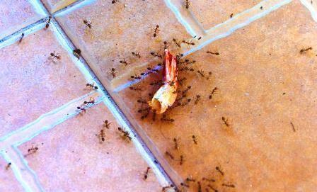 Причина появления домашних муравьёв в квартире