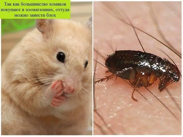 Как вывести блох у хомяка и не допустить новое нашествие паразитов?