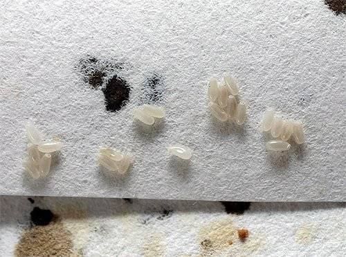 Как уничтожить яйца и личинки клопов: как они выглядят, где искать