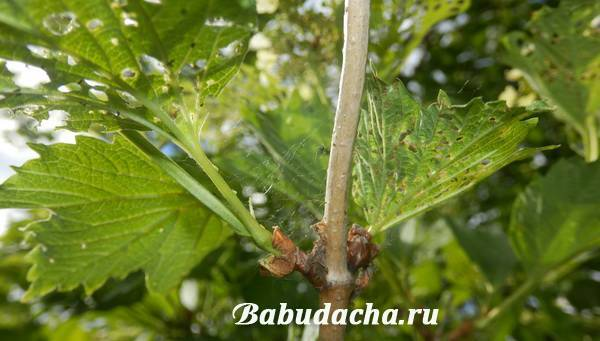 Калину едят гусеницы: как бороться с вредителем народными средствами
