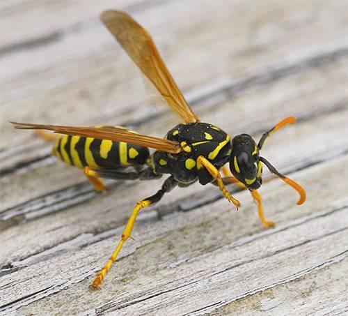 Жалящие насекомые – пчелы и осы. главные признаки, как отличить осу от пчелы