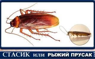 Стасики — откуда пошло такое название тараканов?