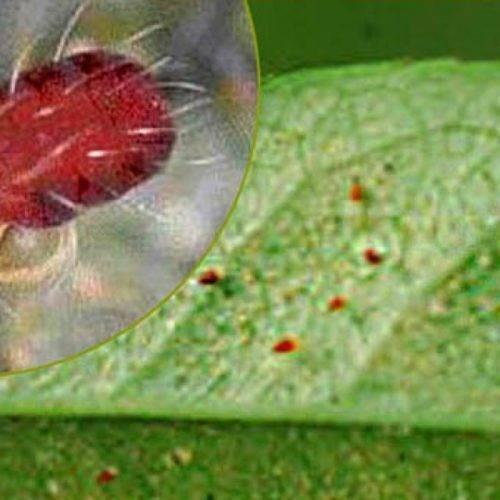 Как избавиться от паутинного клеща на огурцах: лучшие средства и способы борьбы