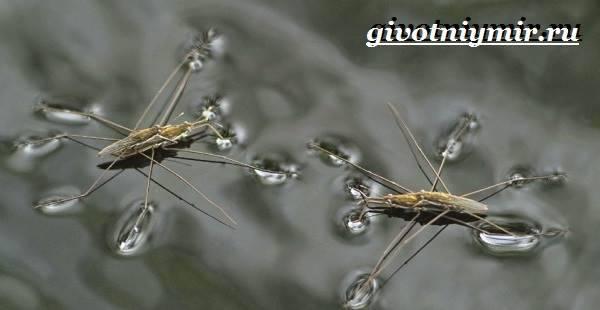 Клоп водомерка биологические особенности и описание