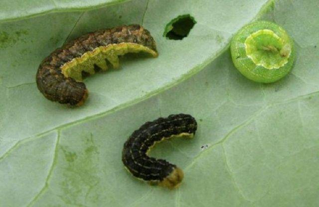 Эффективная борьба с гусеницами на капусте народными средствами