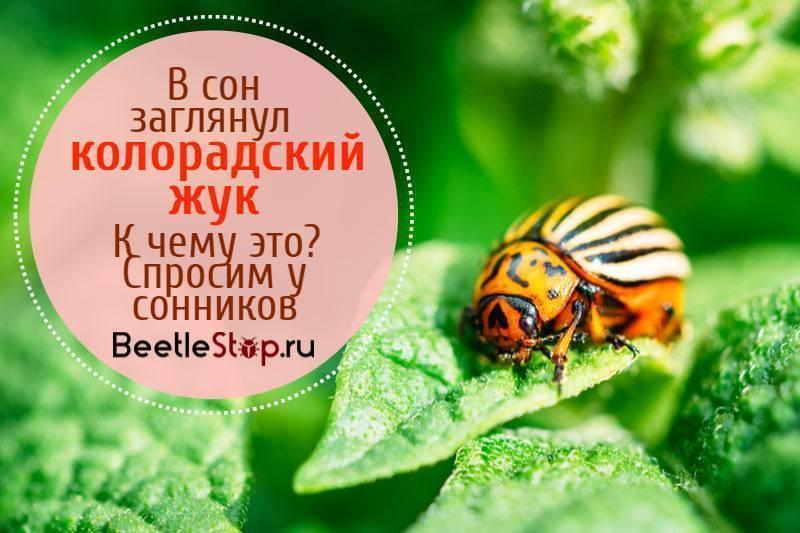 К чему снятся колорадские жуки - толкования и советы