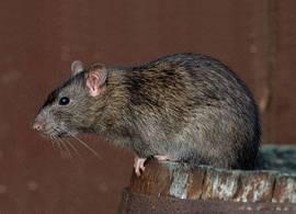 Уничтожение крыс и мышей специализированными службами