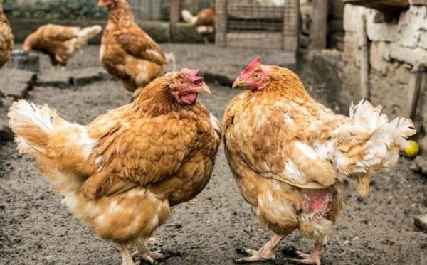 Как избавиться от куриных вшей: народные средства и химические средства