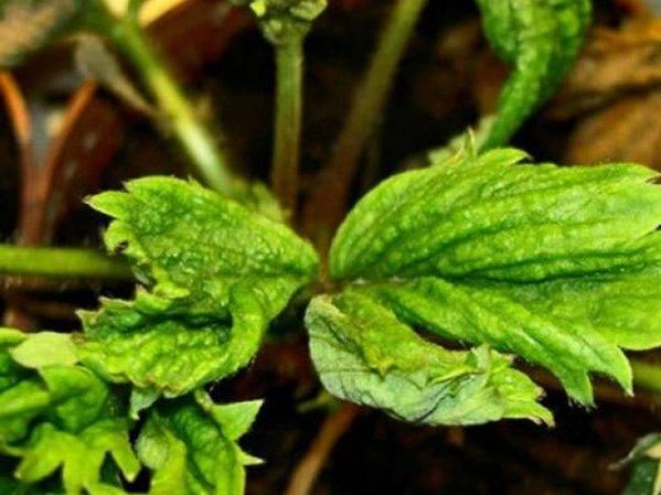 Луковая нематода: как уберечь свой лук от вредителя
