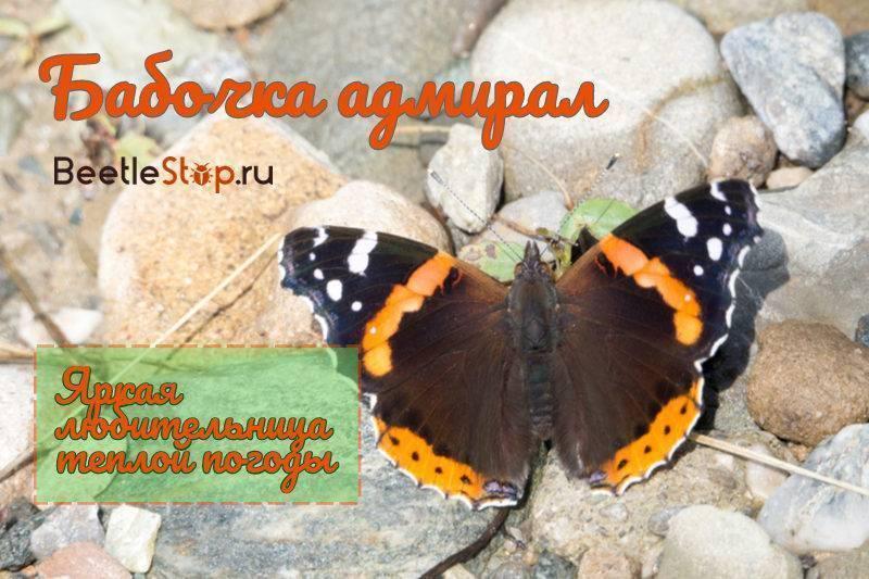 Луговая желтушка. золотистая желтушка рассказ про бабочку луговая желтушка