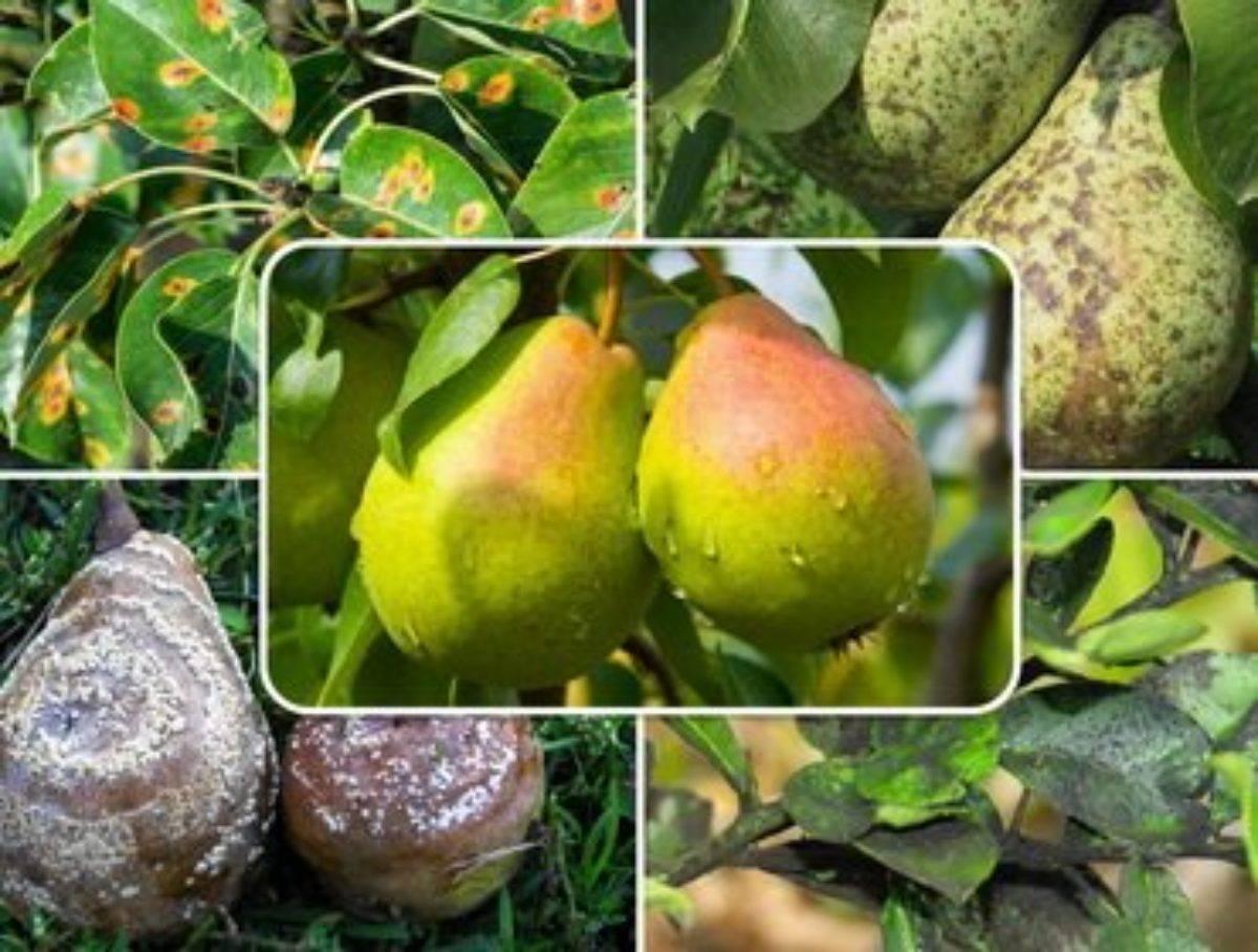 Болезни и вредители груши: описание и меры по защите деревьев