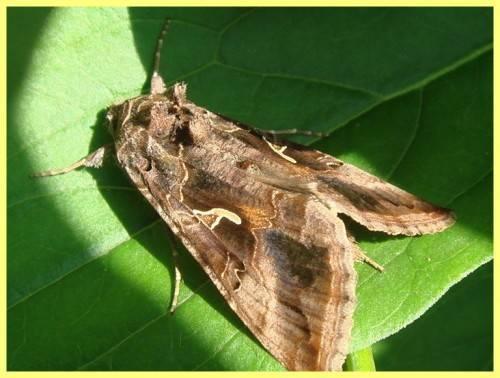 Совка-гамма: многоядные насекомые-паразиты