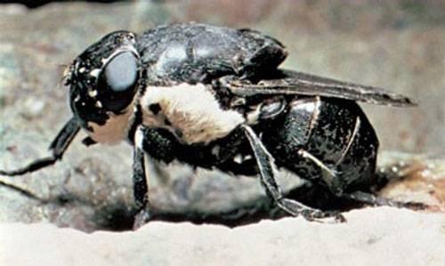 Личинка мухи в теле