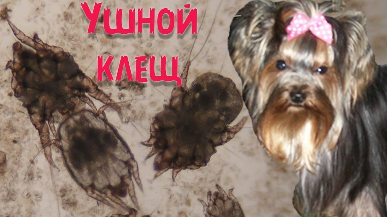 Ушной клещ у собак - признаки, лечение, профилактика