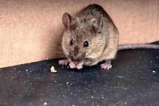 Чем можно заразиться от мышей