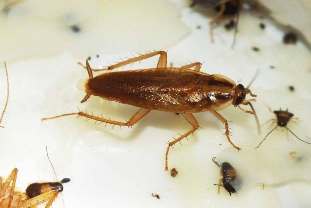 Большие черные или темные тараканы в квартире: строение, как выглядит, чем питаются, как быстро размножаются, как от них избавиться