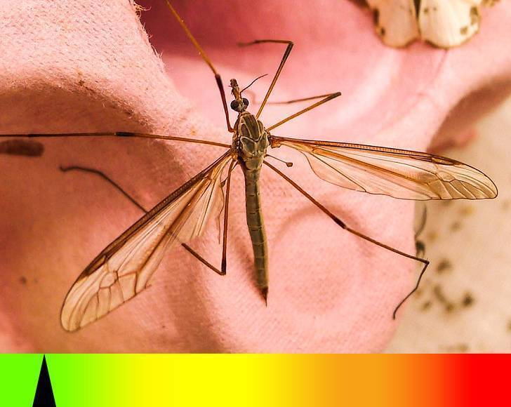 Переносчик малярии — малярийный комар