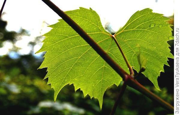 Филлоксера винограда или виноградная тля