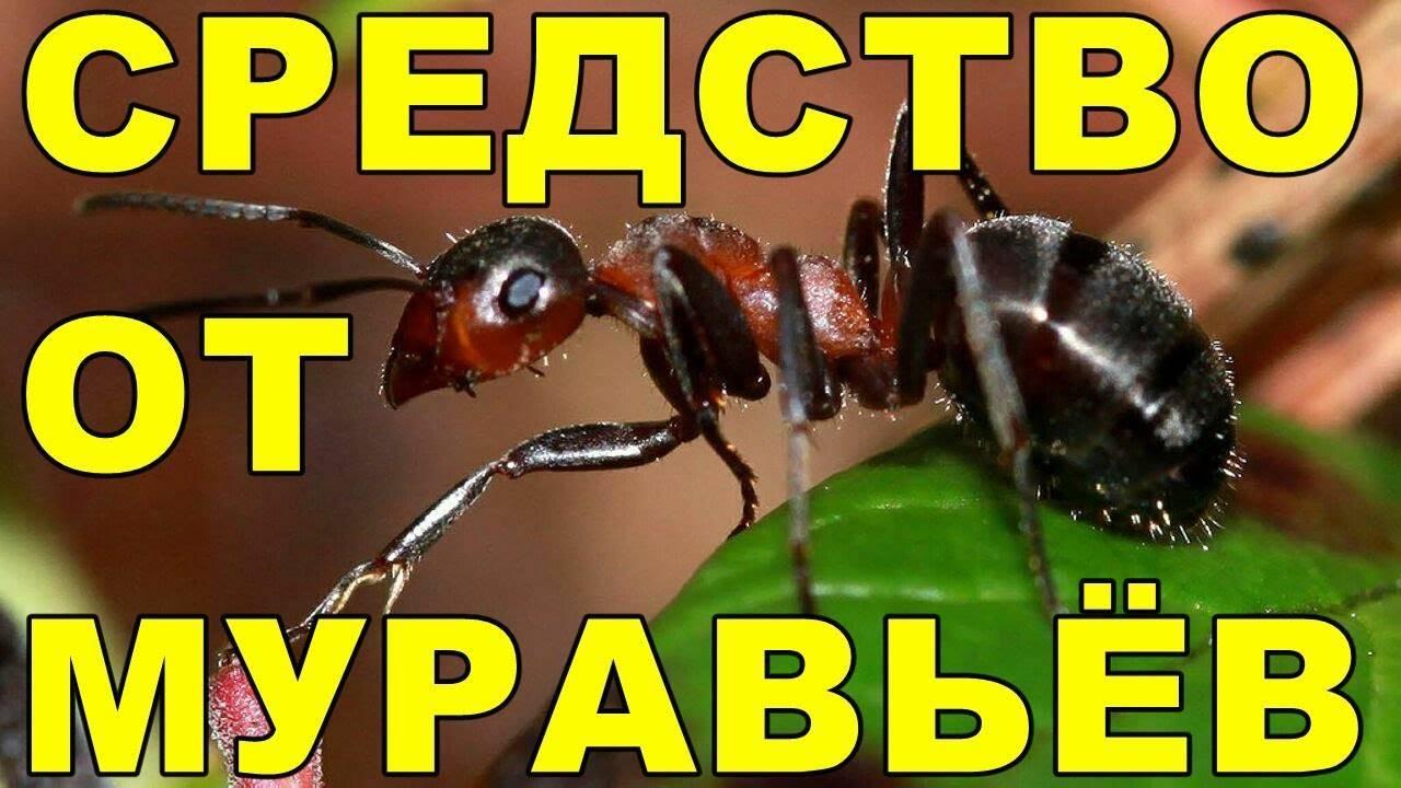 Чем вывести муравьев из бани