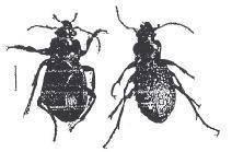 Обзор наиболее эффективных народных средств от колорадского жука