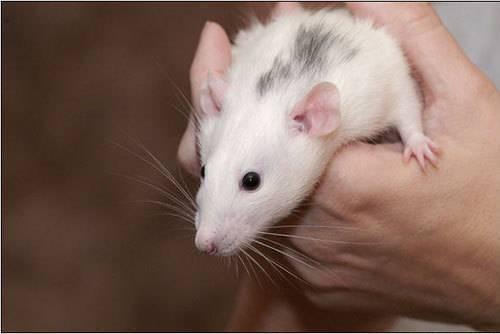 Сколько живут домашние крысы