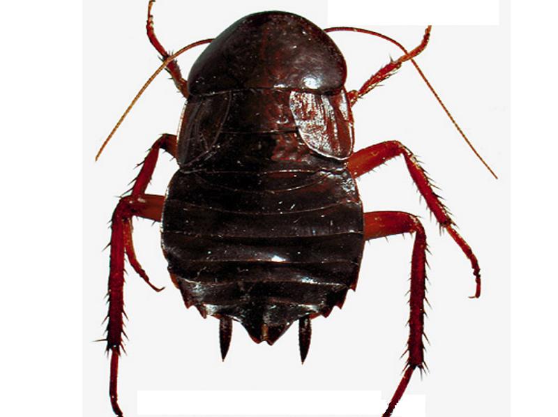 Прозвища усатых: от «стасика» до «феликса»! тараканы прусаки — история нашествия русских жуков