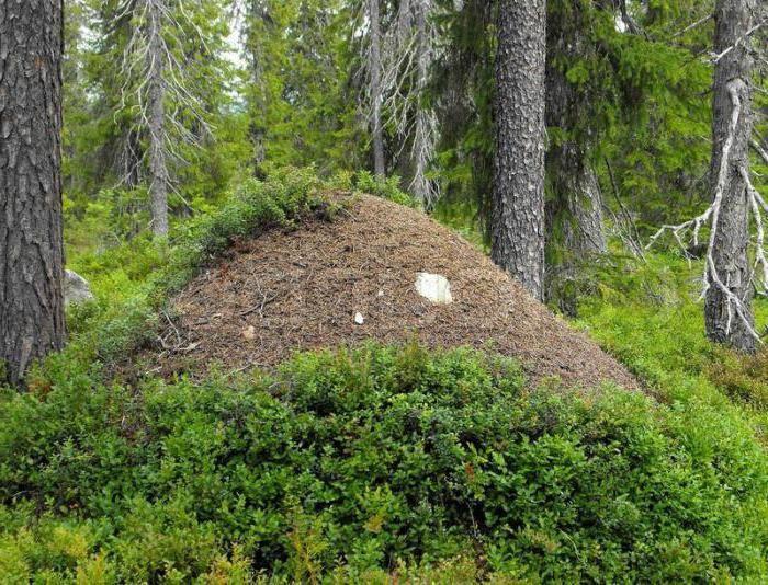 Муравьи – польза и вред на даче и в лесу