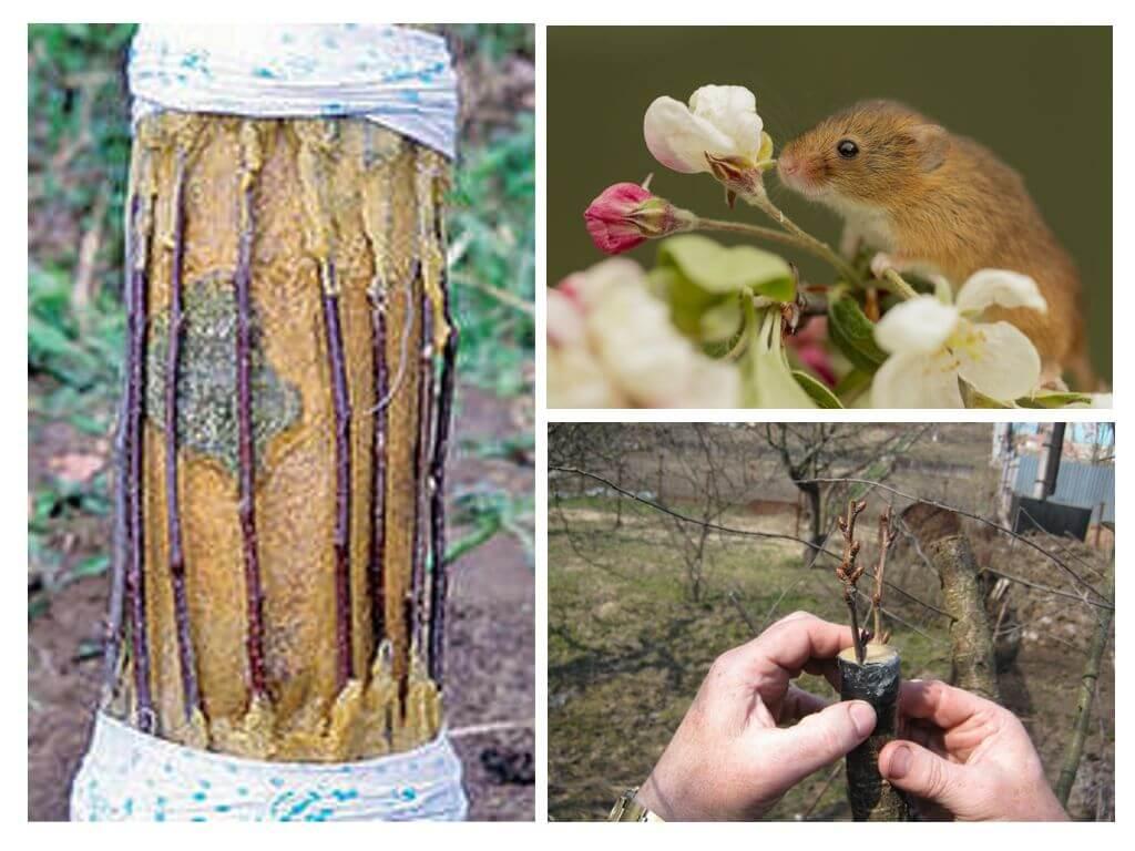 Как спасти яблоню, кору которой погрызли мыши?