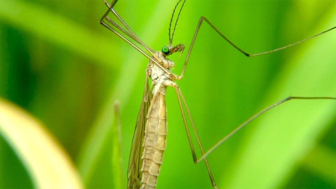 Как выглядят и чем опасны малярийные комары?