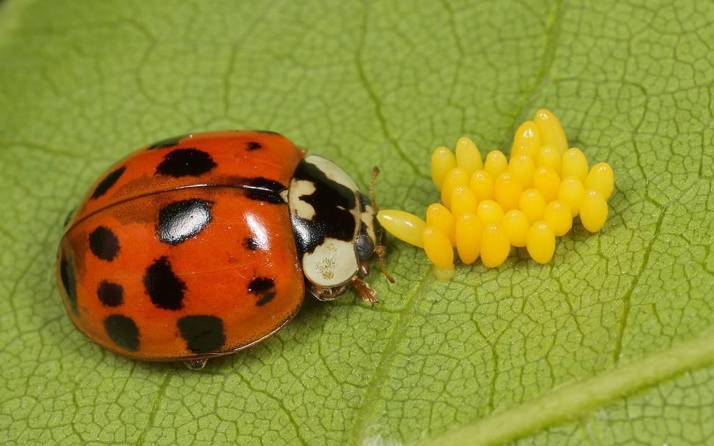 Божья коровка — описание насекомого