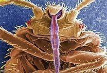 Постельные клопы – образ жизни, размножения, питание