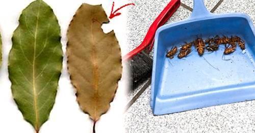 Лавровый лист от клопов отзывы. лавровый лист против домашних насекомых и вредителей на дачном участке. наиболее существенными остаются.