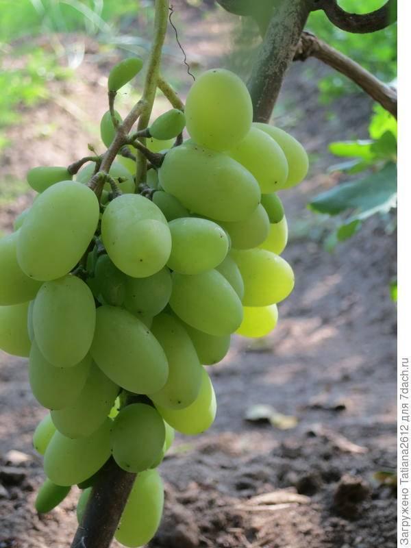 Чем опасна филлоксера для винограда: выявляем признаки и уничтожаем вредителя